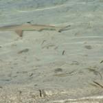モルディブの鮫